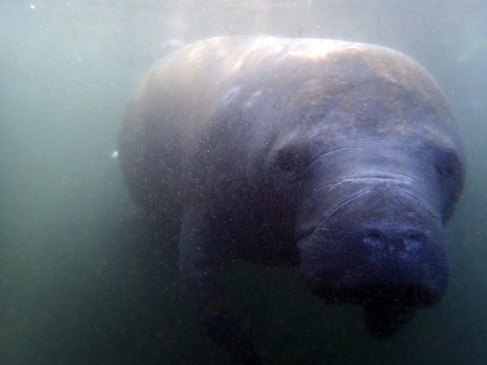 I had heard that manatees can see into your soul, and I became convinced that's true. They make direct eye contact with humans, which reflects their gentle nature.