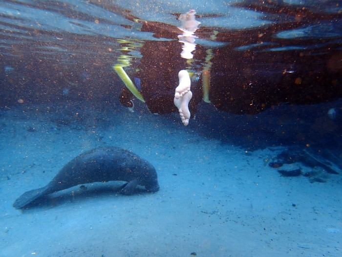 Once we found clearer water, it was easier to see what the manatees were doing. This one is sound asleep.